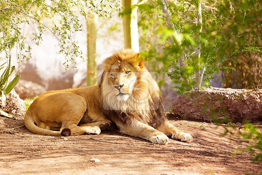 Wielki lew afrykański leżący na ziemi w otoczeniu dżungli