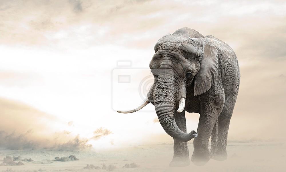 Słoń afrykański spacerujący sam na pustyni o zachodzie słońca