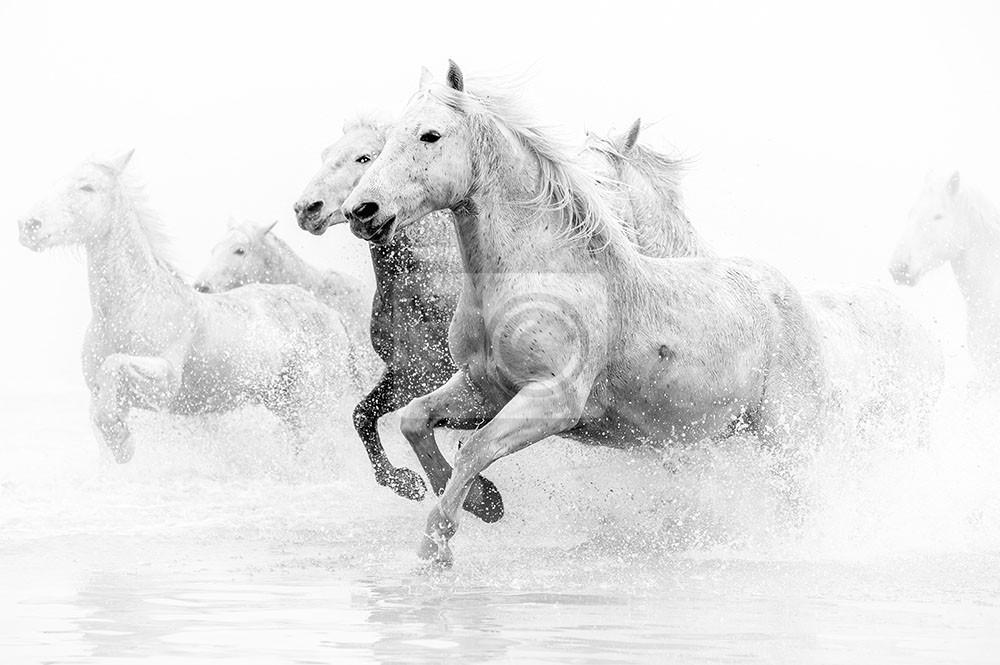 Pędzące konie po wodzie